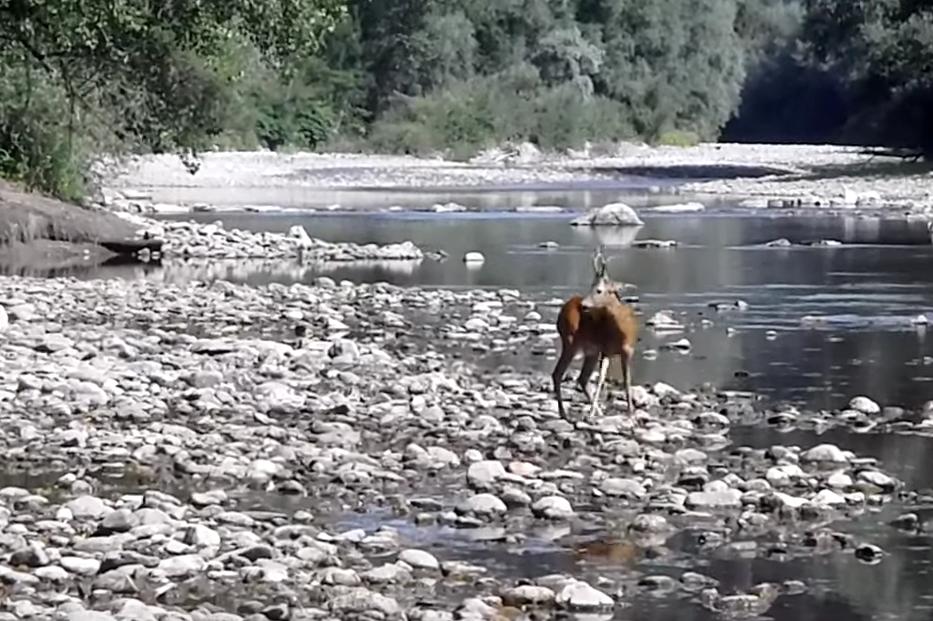 VIDEO: Dramatischer Rehbock-Kampf beim Fliegenfischen.