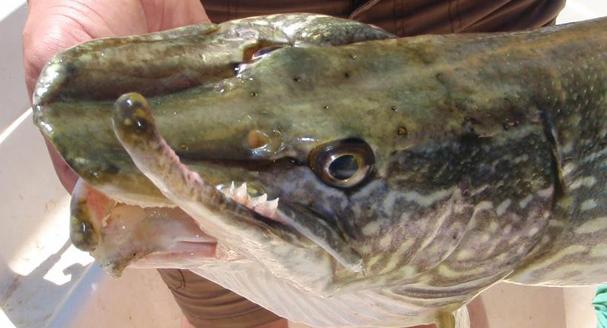 Folgen eines Fischgreifers - Gebrochener Unterkiefer bei einem Hecht ©beisszeit.com