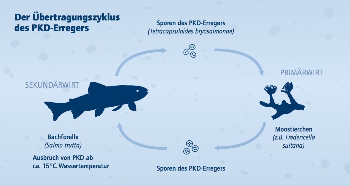 Der Übertragungszyklus des PKD-Erregers. Grafik @ Norbert Novak