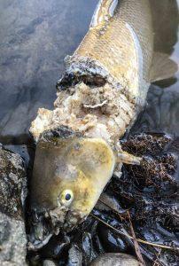 Fischotter: Fraßspuren an einer Barbe