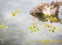 Ufersanierung am Baggersee: Eingebrachte Totoholz-Strukturen werden sofort von den Fischen angenommen.